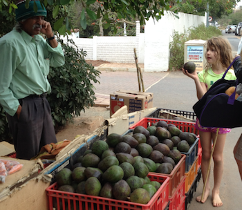 Avocados after a trip to the beach – big ones!