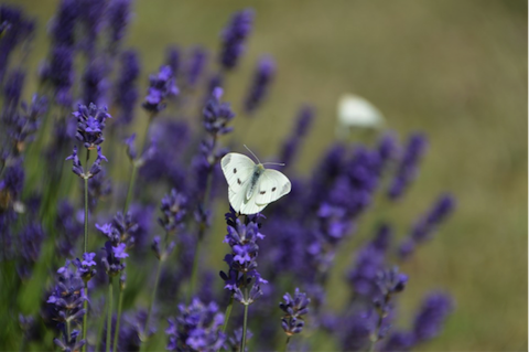 how to use lavender for anxiety