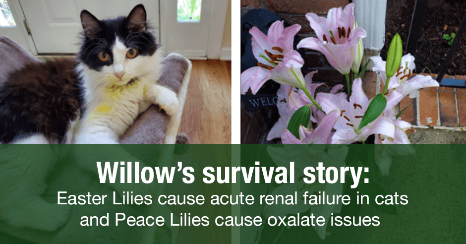 willow lilies oxalate